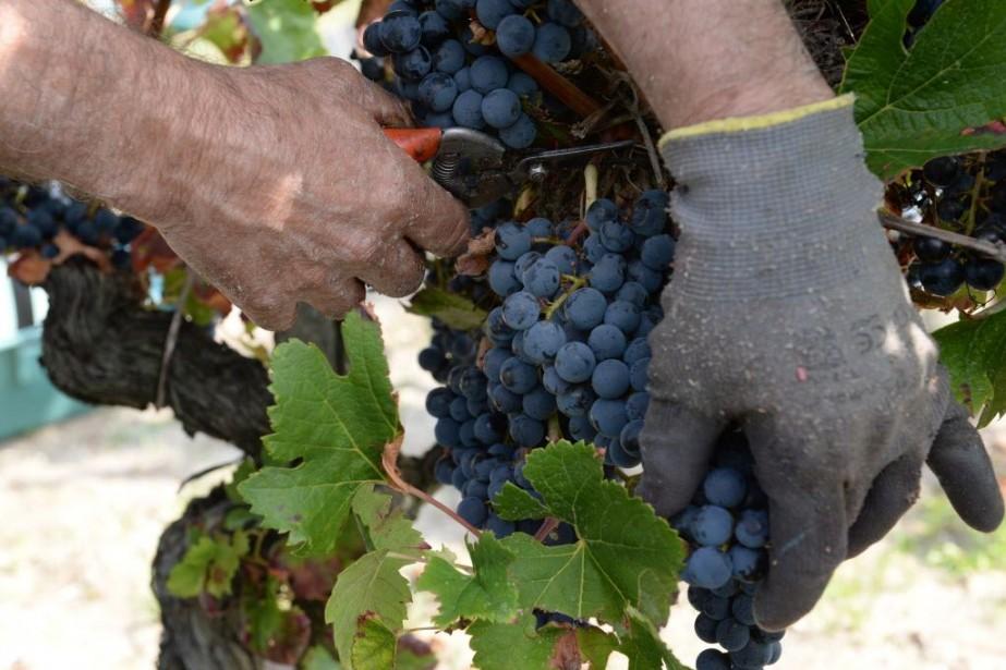 La récolte de 2013 a été historiquement faible.... (PHOTO MEHDI FEDOUACH, AFP)