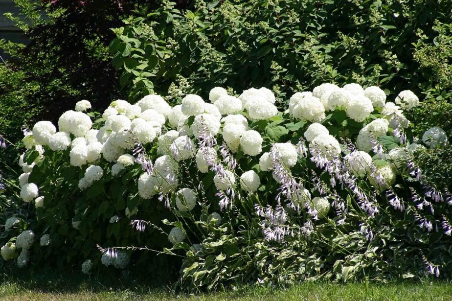 Hydrang es une question de taille larry hodgson horticulture - Fleur blanche longue tige ...