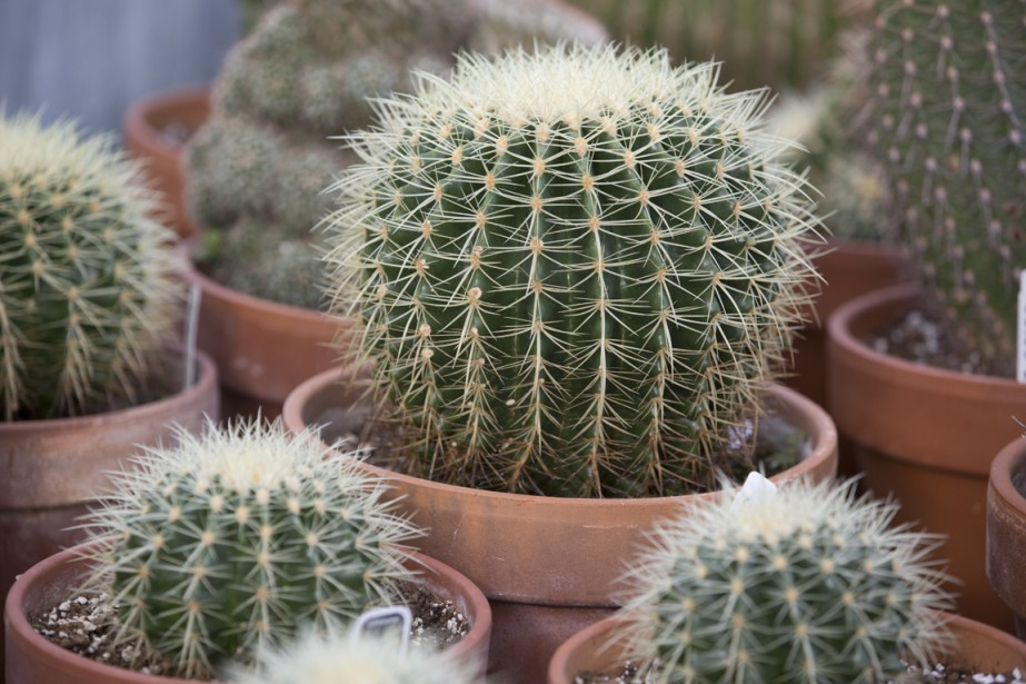 Certains cactus peuvent être plus rapidement reproduits à partir de boutures, d'autres comme les échinocactus, nécessitent d'être plantés. (Photo François Roy, La Presse)
