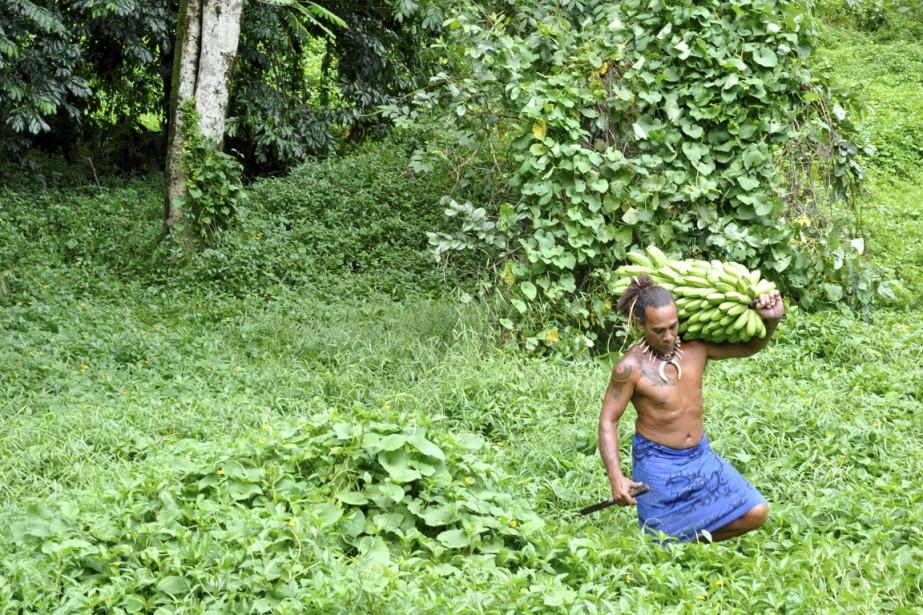 Guide à Tahiti, Teiva récolte ses bananes à la machette. (Photo Stéphanie Morin, La Presse)