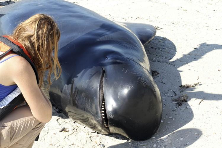 Les échouages massifs de baleines sont courants en... (Archives Reuters)