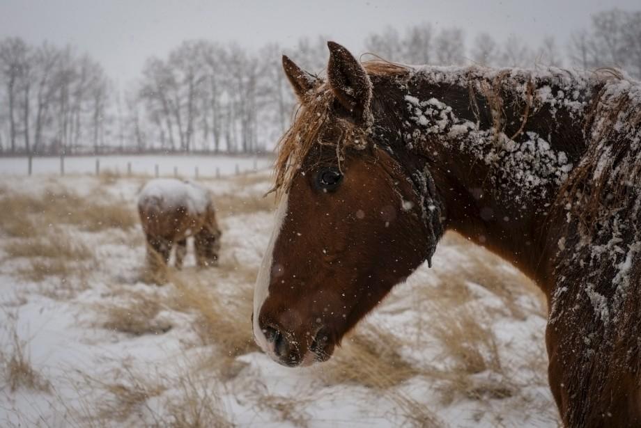 Les chevaux se couvrent de neige lors de la première tombée à Cremona, en Alberta. (La Presse Canadienne)