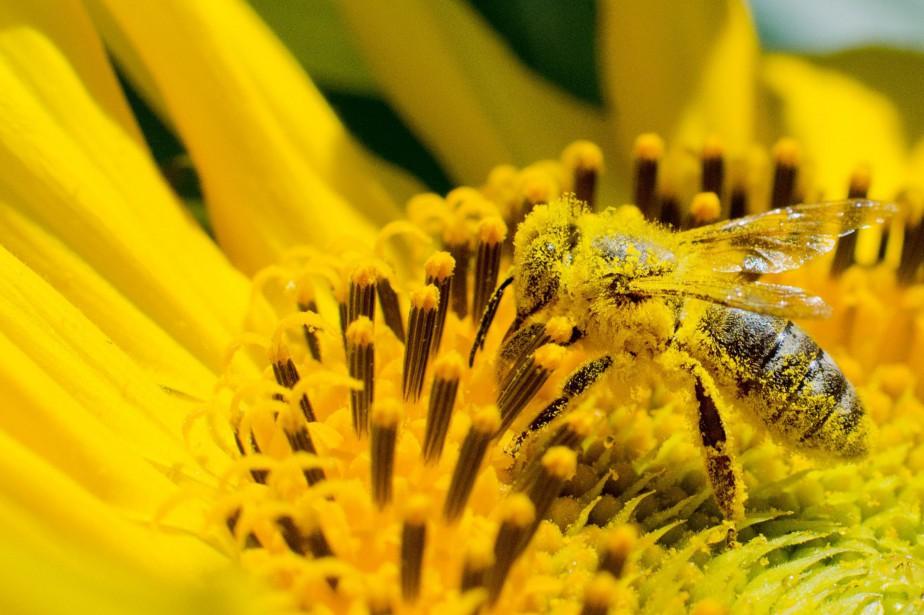 Une abeille recouverte de pollen butine un tournesol... (Photo Julian Stratenschulte, agence france-presse)