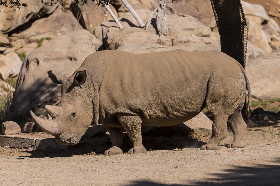 Le rhinocéros nommé Angalifu, âgé d'environ 44 ans,... (PHOTO REUTERS)