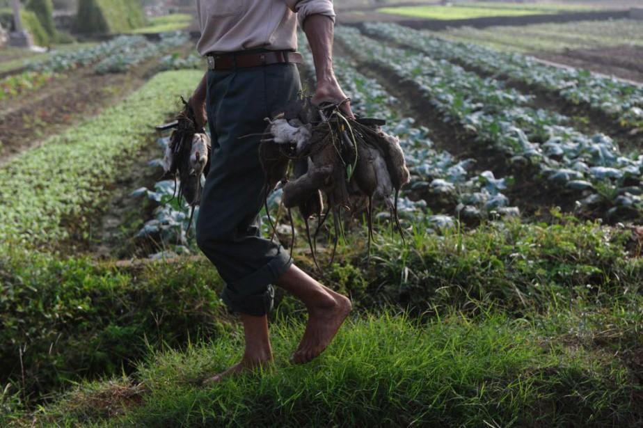 Depuis quelques années, la population des rats a... (Photo HOANG DINH Nam, AFP)