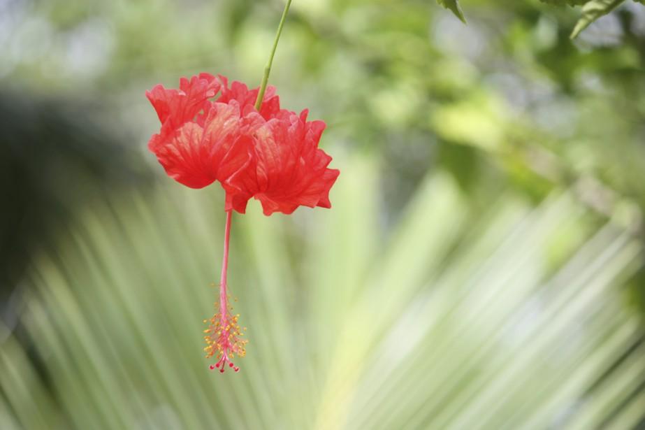 Ce n'est pas pour rien que Kauai est surnommée «l'Île-Jardin». (Photo Sylvain Sarrazin, La Presse)