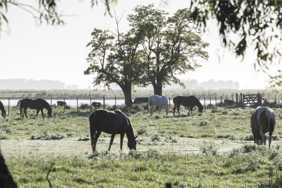 À la fin du jour, les chevaux peuvent brouter tranquillement en attendant de regagner le corral. (Photo Federico Cabrera, collaboration spéciale)