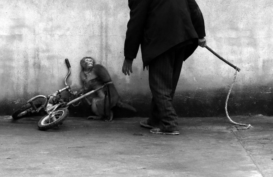 En Chine, un singe de cirque est effrayé alors que son entraîneur s'approche de lui. (PHOTO Yongzhi Chu, AP)