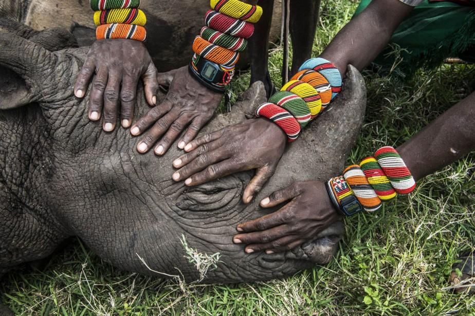 Un groupe de guerriers samburu rencontre un rhinocéros pour la première fois de leur vie, dans le nord du Kenya. (PHOTO Ami Vitale, Ap/National Geographic)