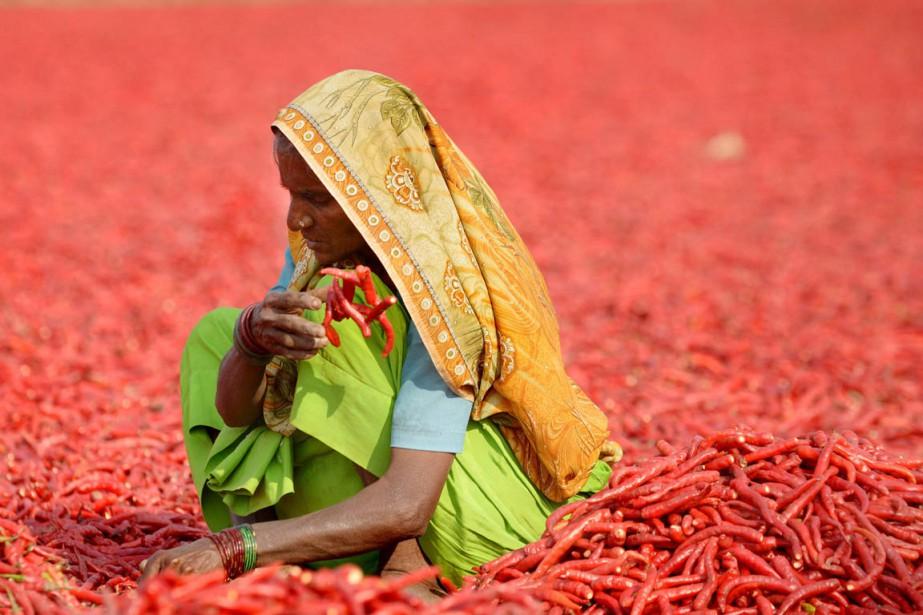 Une travailleuse agricole sèche des piments fraîchement récoltés,... (PHOTO SAM PANTHAKY, ARCHIVES AFP)
