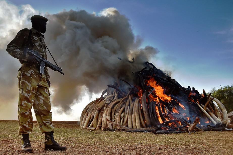 L'ivoire devrait brûler durant cinq jours, sous haute... (Photo Carl de Souza, AFP)