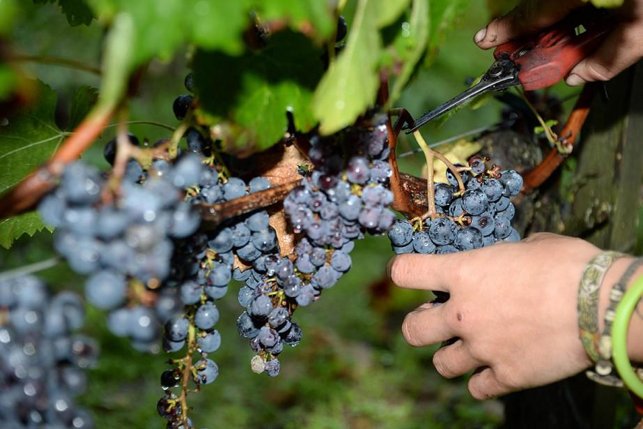 Un ouvrier récolte des grappes de raisins dans... (PHOTO JEAN-PIERRE MULLER, ARCHIVES AGENCE FRANCE PRESSE)