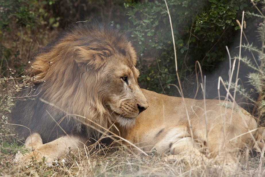 Dans les années50, un grand nombre de lions... (PHOTO ZACHARIAS ABUBEKE, ARCHIVES AFP)