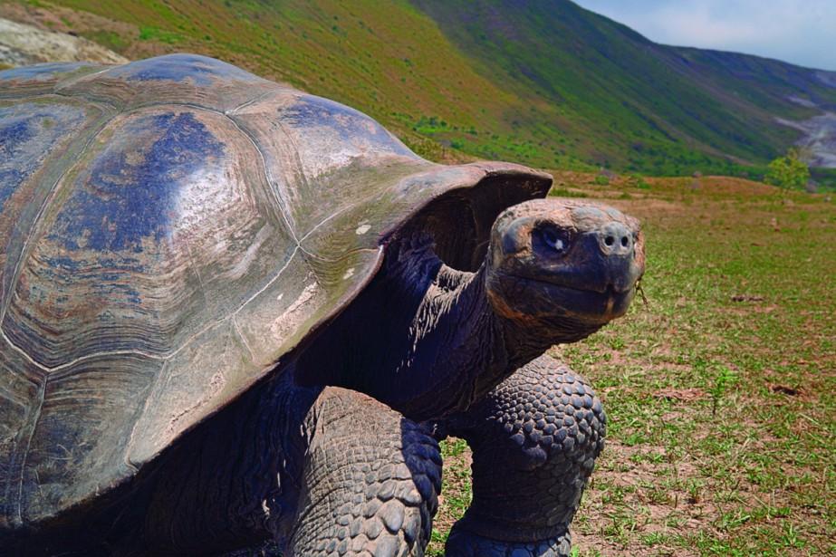 Les tortues géantes de Pinzón se sont reproduites en... (Photo fournie par Imax)
