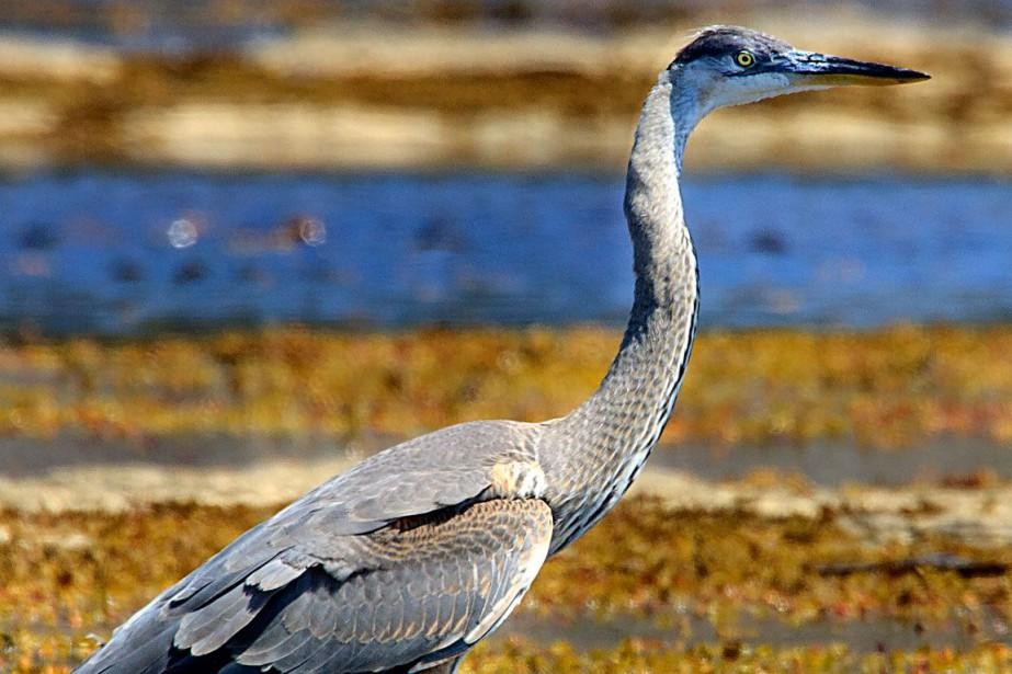 L'île Thomas est réputée pour ses oiseaux nicheurs... (PHOTO D'ARCHIVES)