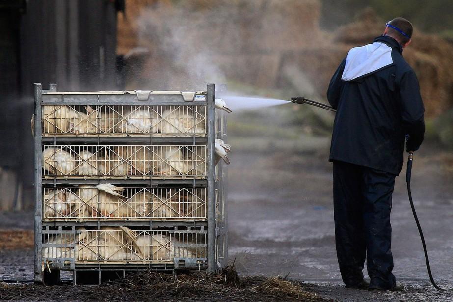 Un homme désinfecte des carcasses de canards au... (Photo Lynne Cameron, archives AP)