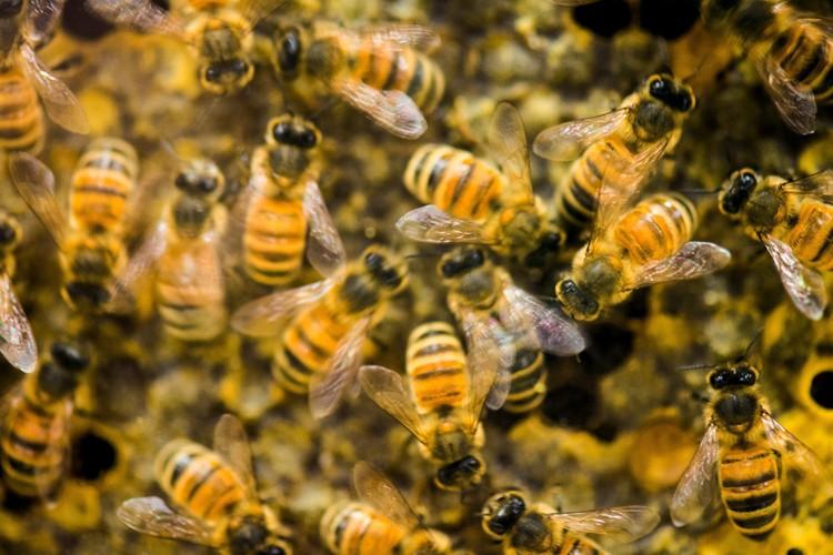 Les apiculteurs américains ont perdu 42% de leurs colonies... (Photo: AP)