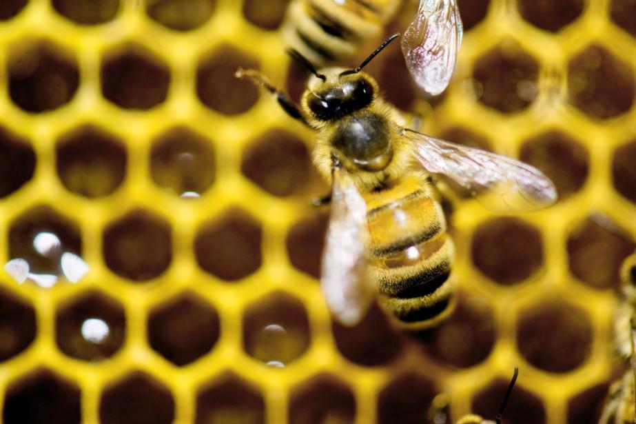 Selon la dernière enquête fédérale, les apiculteurs américains... (PHOTO ANDY DUBACK, ARCHIVES AP)