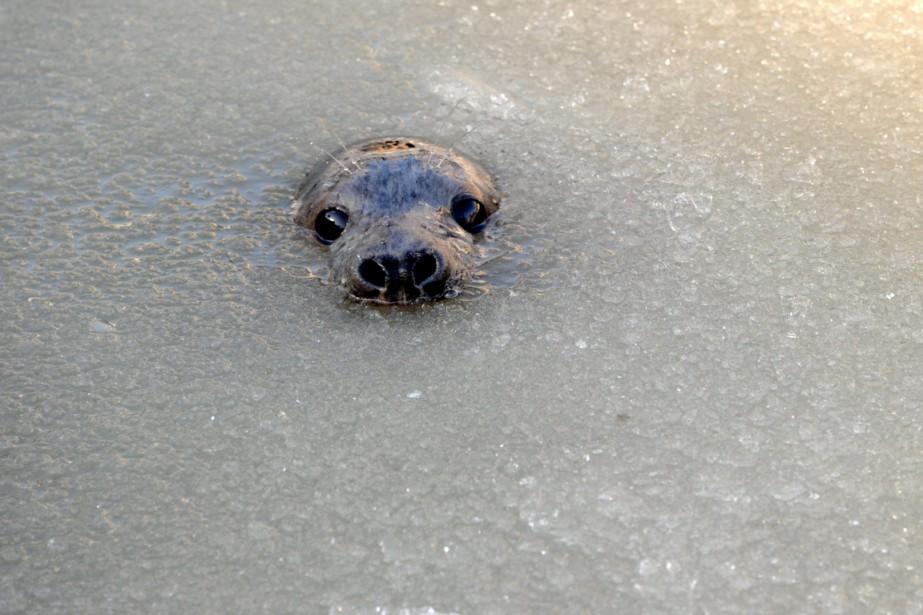 L'Institut de la fourrure estime qu'un abattage massif... (PHOTO CARSTEN REHDER, ARCHIVES AFP)