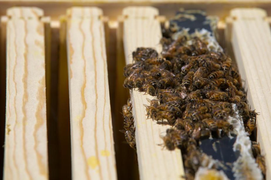 Pour les scientifiques, le déclin des colonies d'abeilles... (PHOTO FRANÇOIS ROY, ARCHIVES LA PRESSE)