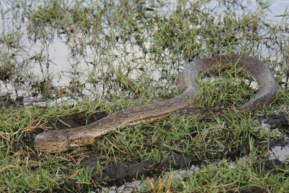 Les pythons de Seba sont les plus grands... (PHOTO TIRÉE DE WIKIPÉDIA)