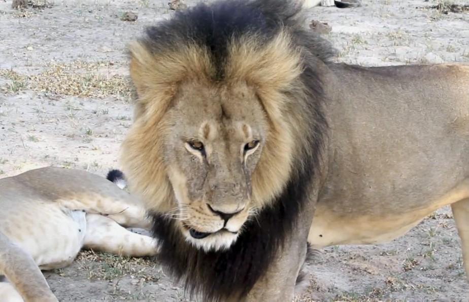 La mort du lion Cecil a suscité une... (PHOTO PAULA FRENCH, ARCHIVES AP)