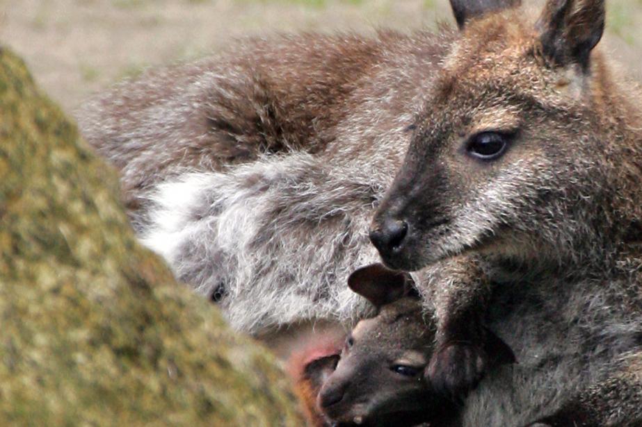 Qu'est-ce qui est gris-brun,... (Photo Jean-Christophe Verhaegen, archives AFP)