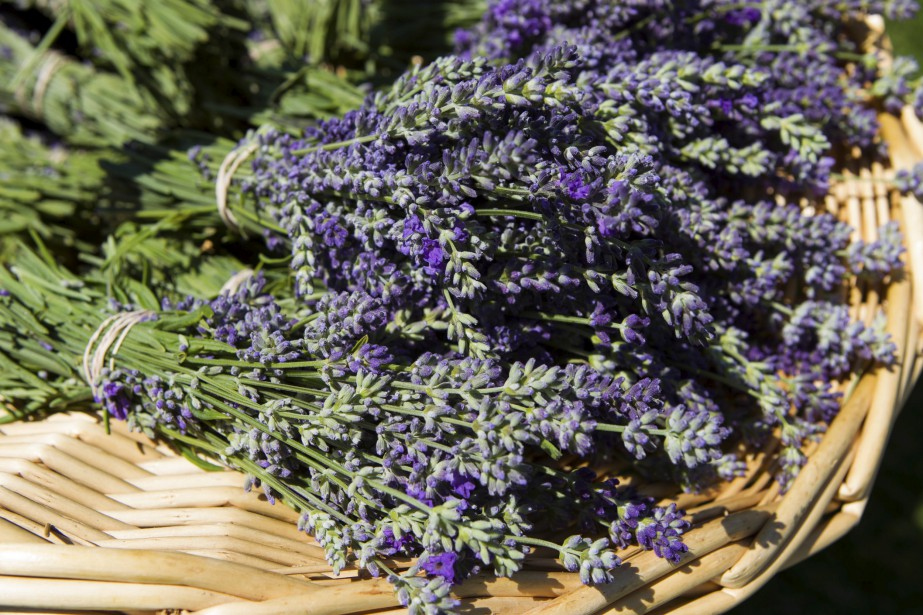 La lavande de l'Azulée est rapidement coupée, parce que la teneur en huile essentielle est plus forte dans les fleurs précoces. (Le Soleil, Caroline Grégoire)
