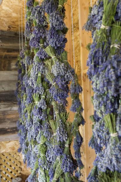 Les bouquets de lavande sèchent tête en bas. (Le Soleil, Caroline Grégoire)