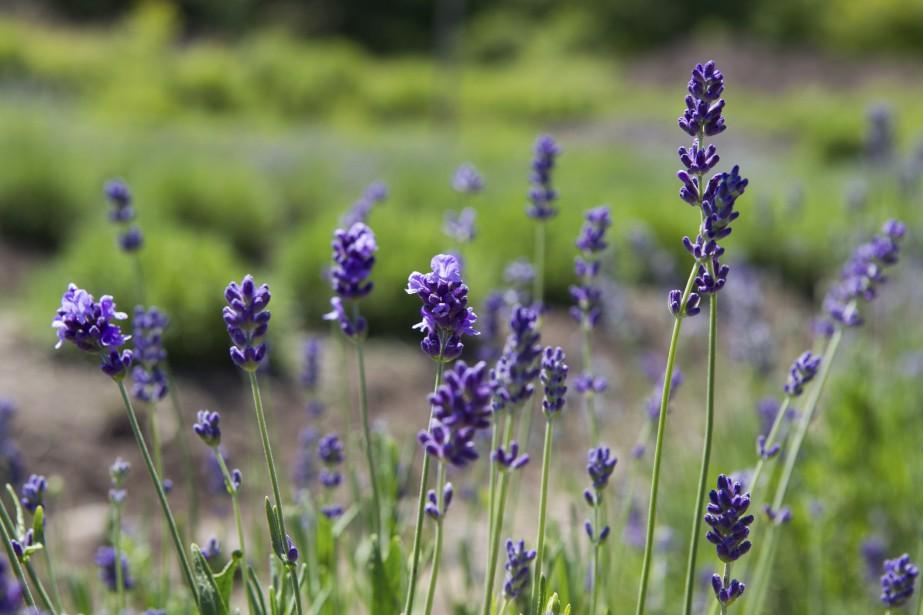 Parmi les nombreuses vertus de la lavande, son huile essentielle possède des vertus bactéricides et antiseptiques. (Le Soleil, Caroline Grégoire)