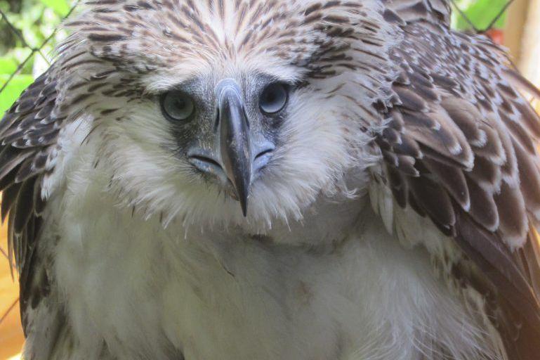 Philippines: un aigle d'une espèce menacée abattu après avoir été relâché  dans la nature | La Presse