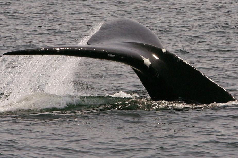 Les animaux marins seraient forcés de «crier» en... (PHOTO ARCHIVES LA PRESSE CANADIENNE)