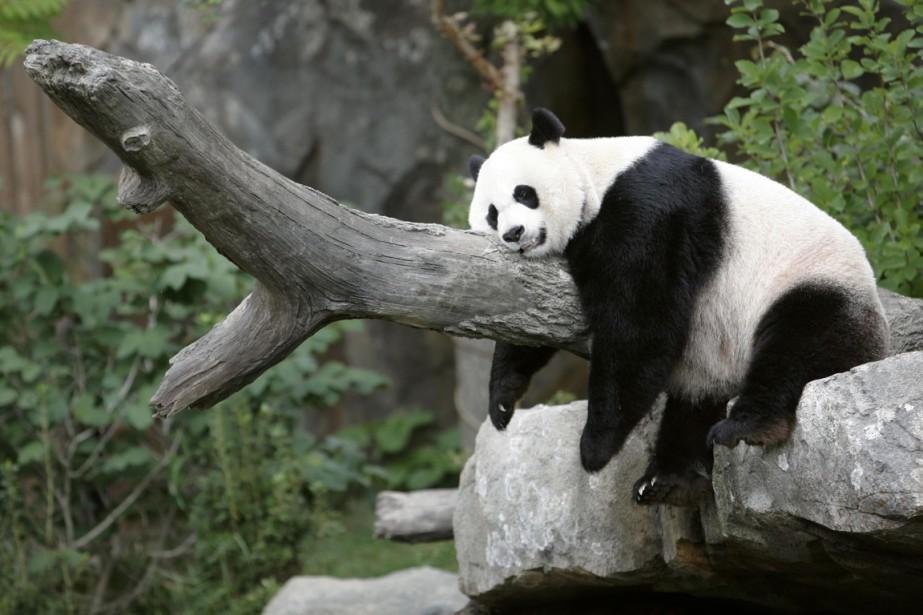 Mei Xiang, qui a déjà eu deux bébés... (Photo Reuters)