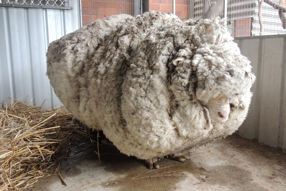 «Chris» le moutonavait une toison de plus de... (Photo AP)