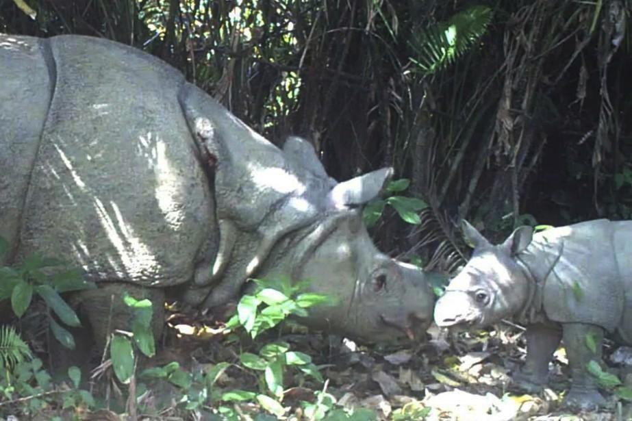 Trois bébés rhinocéros de Java ont été filmés dans un parc national en Indonésie, portant à 60 le nombre total de cet espèce de pachyderme la plus rare au monde et menacée d'extinction. Une petite femelle et deux petits mâles ont été observés dans l'ouest de l'île de Java. Ils ont été filmés au côté de leurs mères par des caméras installées dans un sanctuaire du parc situé dans une des rares forêts primaires préservées du pays et classée au patrimoine mondial de l'UNESCO. (AFP) | 9 septembre 2015