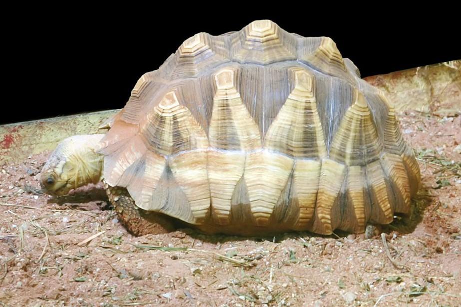 La tortue à soc vit dans la région... (PHOTO WIKIPÉDIA)