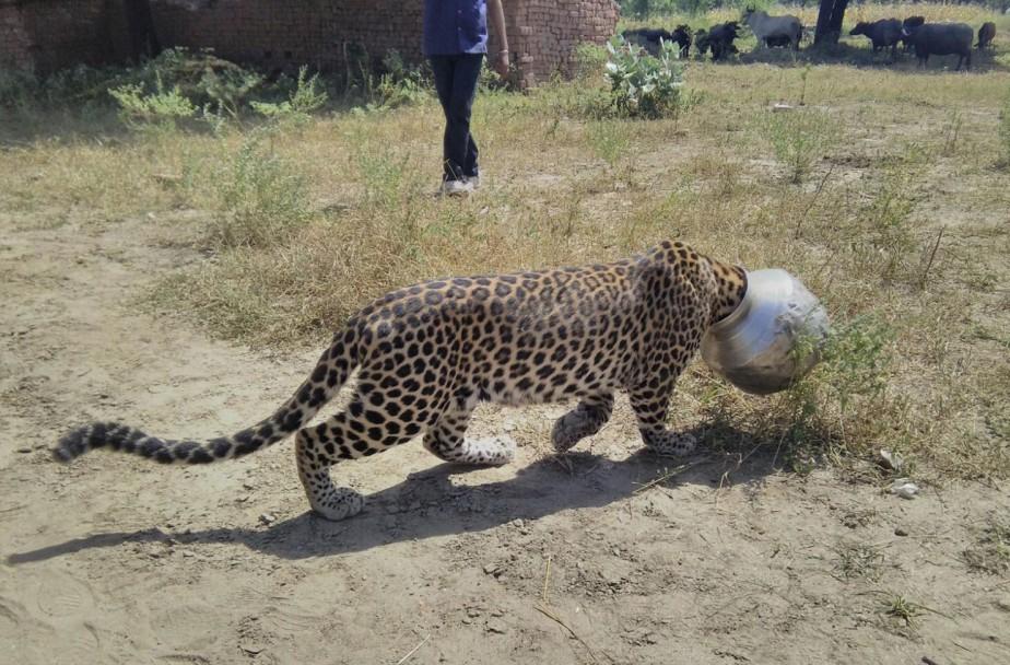 Un léopard traverse un champ la tête prise dans un... | 2015-09-30 00:00:00.000