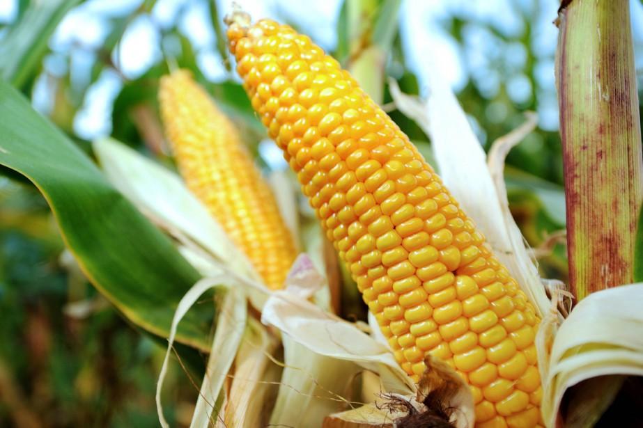 Actuellement, le MON810 est le seul OGM autorisé... (PHOTO PHILIPPE HUGUEN, ARCHIVES AFP)