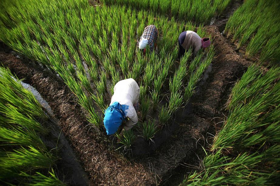 Des femmes travaillent dans des rizières en Inde,... (PHOTO ARCHIVES AP)