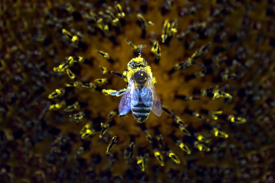 La tromperie est une stratégie de pollinisation chez... (PHOTO ARNO BURGI, AFP)