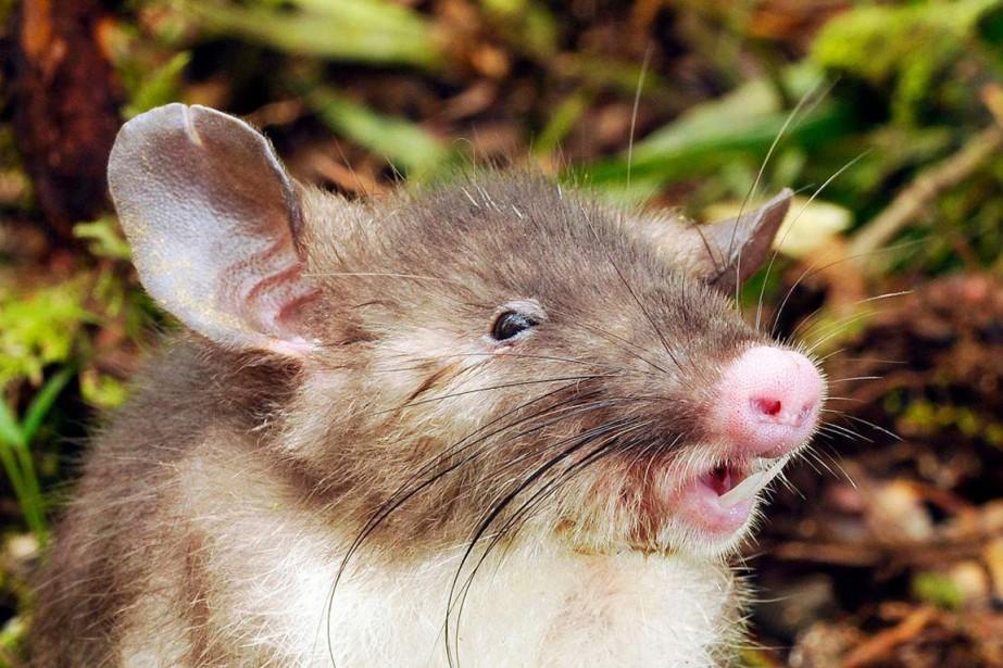 Le rat, dont l'appellation scientifique est Hyorhinomys stuempkei,... (PHOTO MUSÉE VICTORIA/TIMES)