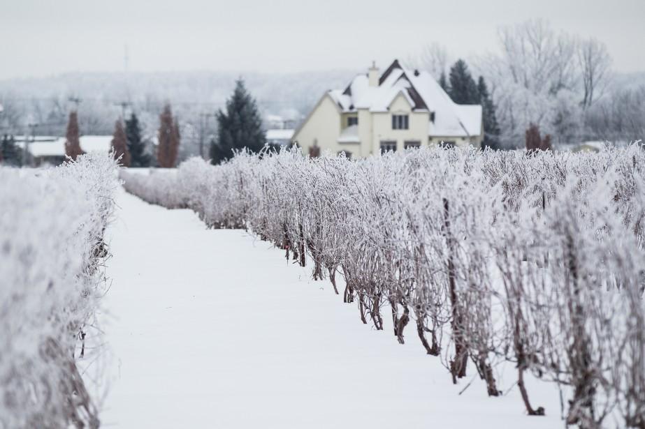 Réchauffement ou pas, le vignoble Rivière du Chêne,... (PHOTO EDOUARD PLANTE-FRÉCHETTE, ARCHIVES LA PRESSE)