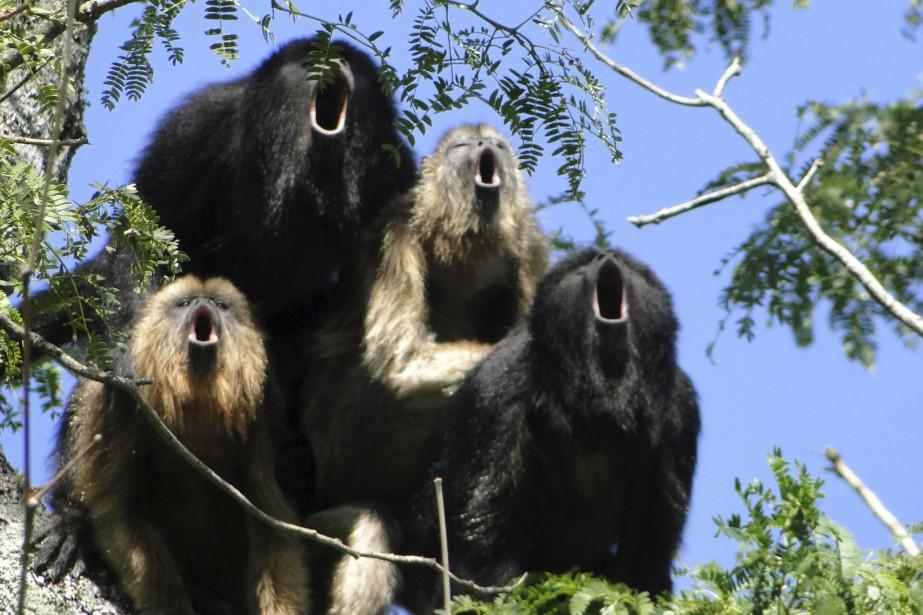 Les singes hurleurs peuvent faire entendre leurs puissants... (PHOTO MARIANA RANO VIA REUTERS)