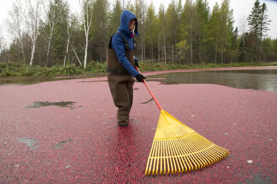Avant d'être ramassées, les canneberges flottent à la surface de l'eau. (Martin Roy, LeDroit)