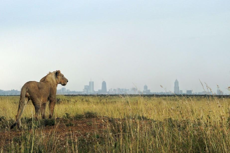 La disparition des lions est principalement due à... (PHOTO TONY KARUMBA, ARCHIVES AFP)