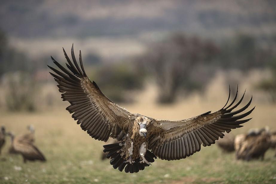 Un vautour déploie ses ailes dans le centre... (Photo MUJAHID SAFODIEN, AFP)
