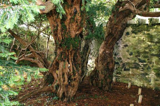 «L'if de Fortingall», dans le Perthshire (centre de... (PHOTO MOGENS ENGELUND, BBC.COM)