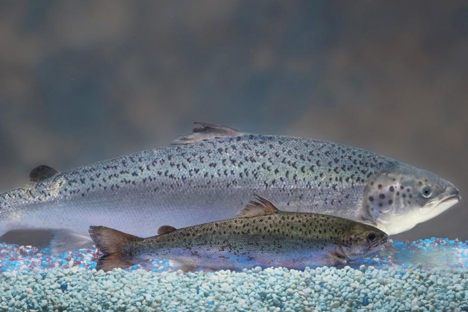 Ce saumon a été développé par la société... (PHOTO BLOOMBERG)