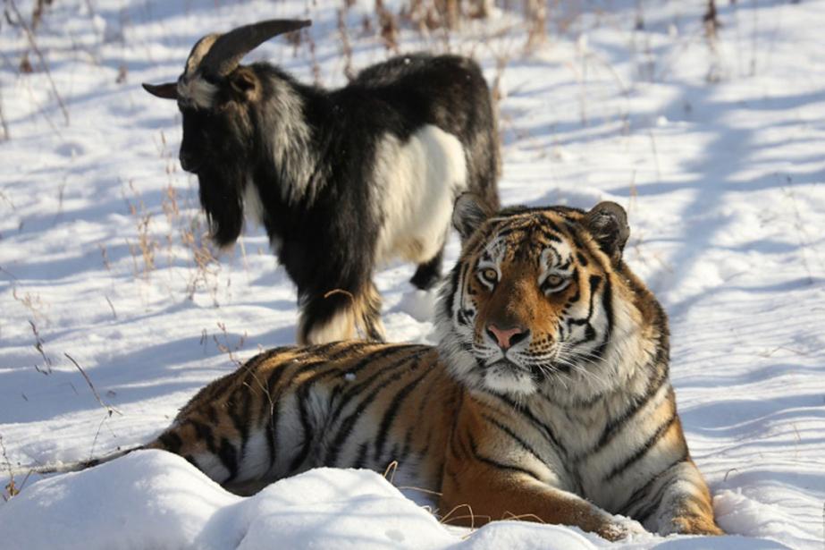 Au parc safari Primorski, en Russie,le tigre Amour... (Photo archives AFP)