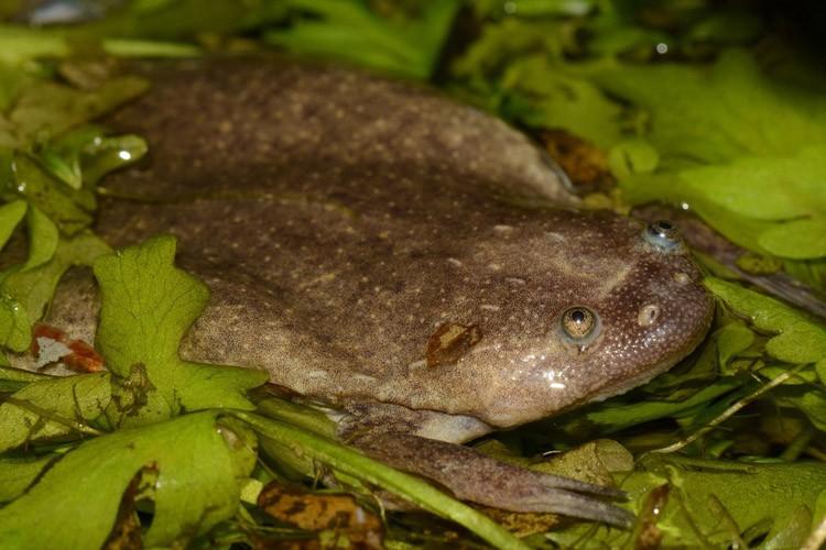 Ces grenouilles africaines ont une évolution proche de... (PHOTO AFP)